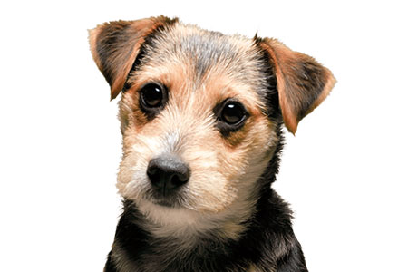 Small dog looking into camera on a white background, representing access to the Vets area of Simplyhealth website